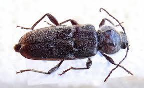 Hylotrupes bajulus Cerambícidos Control y exterminación de plagas de madera carcoma