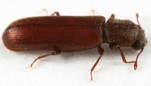 Lyctus brunneusLíctidos Control y exterminación de plagas de madera carcoma
