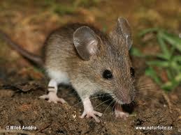 prevencion de plagas roedores Detección mantenimiento control y prevención de plagas empresa Madrid