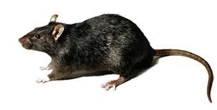rata de tejados Control y exterminación de Ratas y ratones