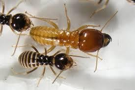 termita parques y jardines Control y exterminación de plagas de madera carcoma