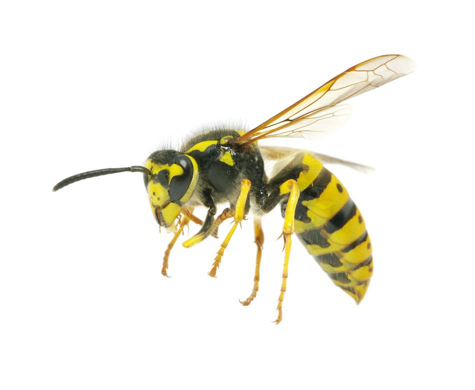control plagas Madrid 0002 Control y exterminación de insectos hormigas arañas avispas chinches