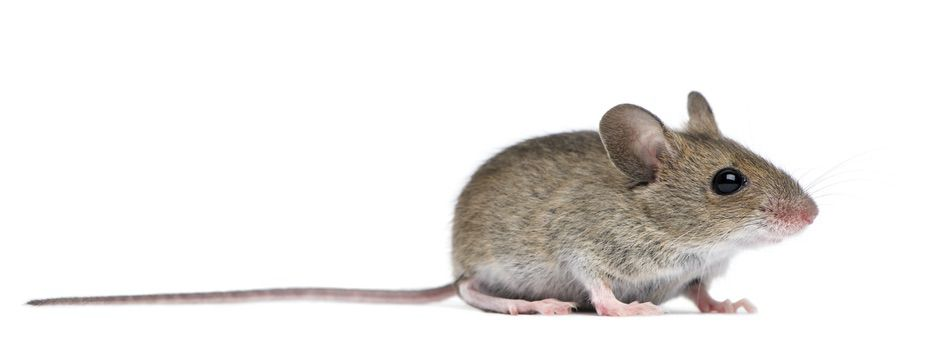 control plagas Madrid 0010 Control y exterminación de Ratas y ratones