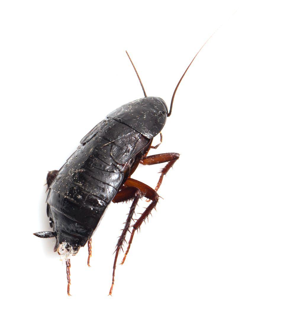 control plagas Madrid 0011 Control y exterminación de cucarachas