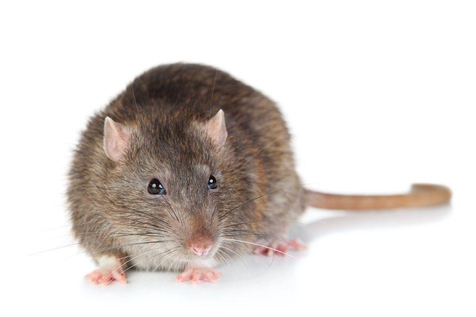 control plagas Madrid 0012 Control y exterminación de Ratas y ratones