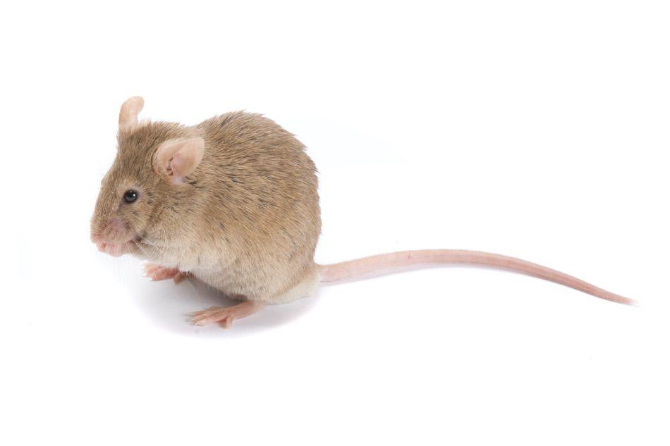 control plagas Madrid 0016 Control y exterminación de Ratas y ratones