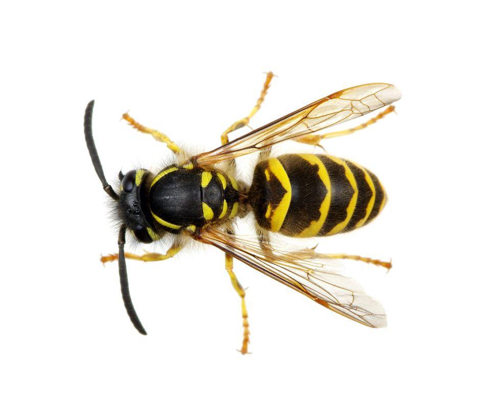 control plagas Madrid 0020 Control y exterminación de insectos hormigas arañas avispas chinches