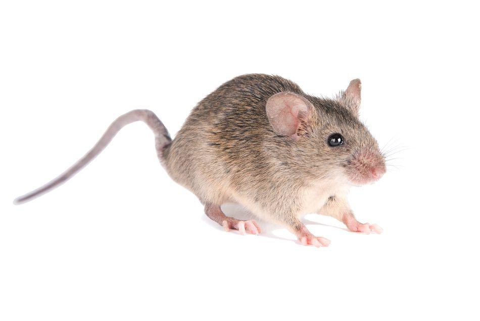 control plagas Madrid 0021 Control y exterminación de Ratas y ratones