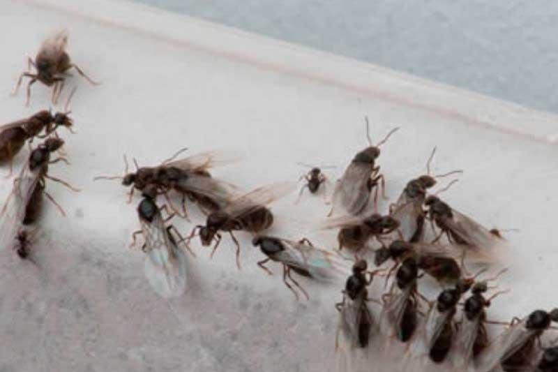 Hormigas voladoras en Madrid
